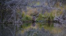 Beaver Enters Stream Near Schwabacher Landing