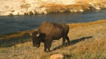 Bison Walks By Firehole River