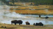 Bison Graze By Steaming Spring