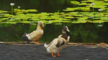 Ducks Groom Next To Pond With Water Lilies