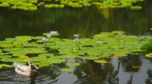 Water Lilies And Ducks On Pond