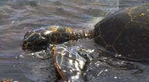 Sea Turtle Feeds On Algae In Shallow Water On Rocky Shore