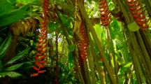 Tropical Jungle Plants In Hawaii, Heliconia Flowers Hang Down