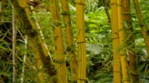 Tropical Jungle Plants In Hawaii, Stand Of Thick Bamboo