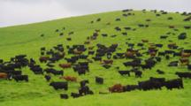 Cattle Graze On Lush Green Hill