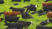 Cattle Graze On Lush Green Hill