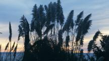 Pampas Grass Silhouetted By Sunset On Coast By Pistol River