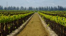 Looking Down Row In Vineyard In Southern California