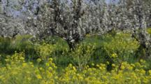 Pear Orchard With Mustard In Talent, Oregon