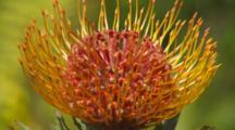Single Protea Flower