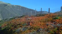 Succulents, Ice Plant By Coastal California Highway