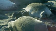 Mother Elephant Seals Nurse Pups At Rookery While Throwing Sand On Backs
