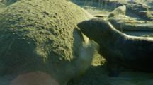 Mother Elephant Seal Takes Sand Bath While Pup Tries To Nurse