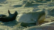 Mother Elephant Seal Takes Sand Bath, Bites At Pup
