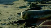 Mother Elephant Seals Nurse Pups At Rookery