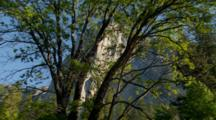 View Of El Capitan Through Tree Branches