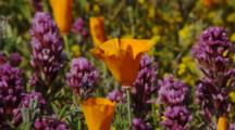 Close Up California Poppies And Owl's Clover