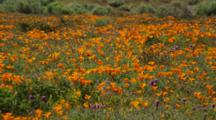 Field Of California Poppies