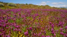 Field Of Desert Wildflowers Featuring Owl's Clover
