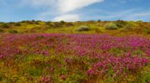 Desert Wildflower Landscape Featuring Owl's Clover