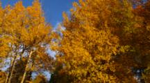 Autumn Trees With Gold Leaves Blowing In Breeze