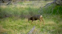 Mule Deer Grazes In Meadow Near Forest