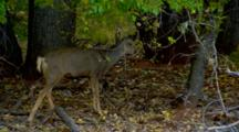 Mule Deer Grazes In Forest