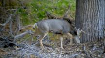 Mule Deer Browses In Forest