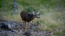 Mule Deer In Zion National Park