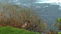 Nene Goose Above Coastline, Hawaii
