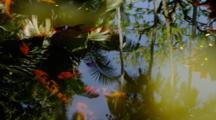 Koi Swim In Pond Near Hilo