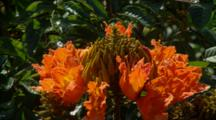 Close Up African Tulip Tree In Breeze