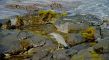 Night Heron On Rocky Shore