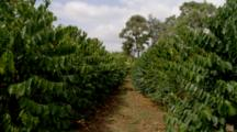 Rows Of Coffee Trees In Plantation