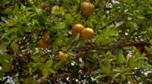 Orange Tree With Fruit, In Breeze