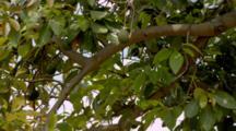Avocado Tree With Fruit, In Breeze