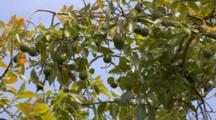 Avocado Tree With Fruit, In Breeze