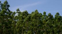 Eucalyptus Forest Near Hilo