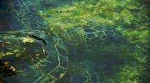 Sea Turtle Feeds On Algae On Shallow Rocks Near Kona