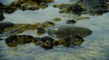 Sea Turtle Crawls On Shallow Rocks Near Kona