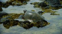 Sea Turtle Crawls On Shallow Rocks Near Kona
