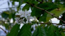 Coffee Trees In Plantation With Flowers