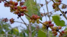 Coffee Trees In Plantation With Cherries Or Beans
