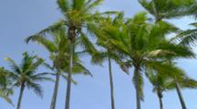 Looking Up At Palm Trees In The Wind