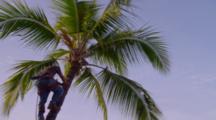 Man Climbs Palm Tree To Begin Pruning, In Kona