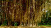 Tilt Up Banyan Tree From Roots To Canopy