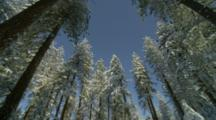 Looking Up, Circular Pan Of Snow Covered Conifer Trees, Mt Ashland, Oregon