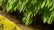 Ferns And Moss Above Steam At Fern Canyon In Redwood National Park