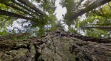 Time Lapse, Dolly Shot Moving Straight Up Redwood Tree