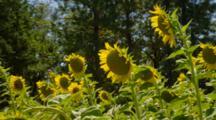 Sunflowers Near Brookings, Oregon